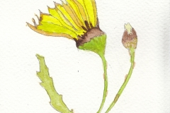 Amanda Woods	<i>Hawkweed</i>	Watercolour	£4